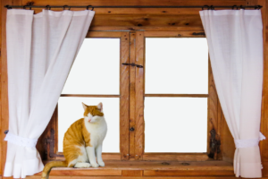 Cat sitting in windowsill might have peed on the curtains